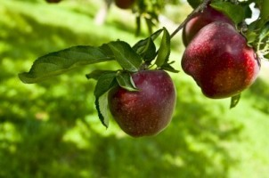 apples-on-tree-400x266